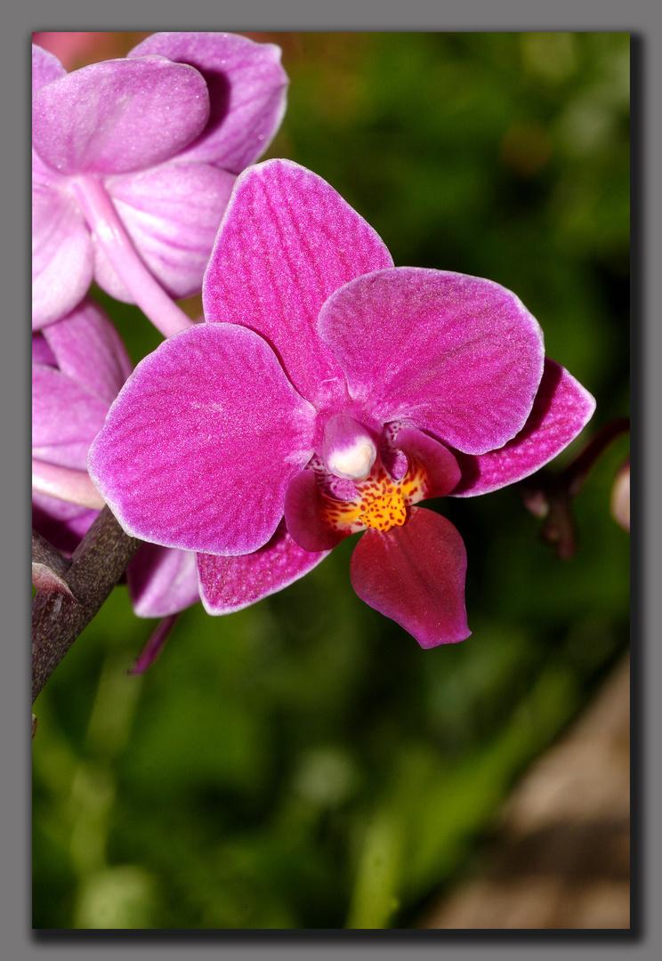 Orchidee auf meinem Fensterbrett