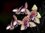 Orchidee aus meine Wintergarten