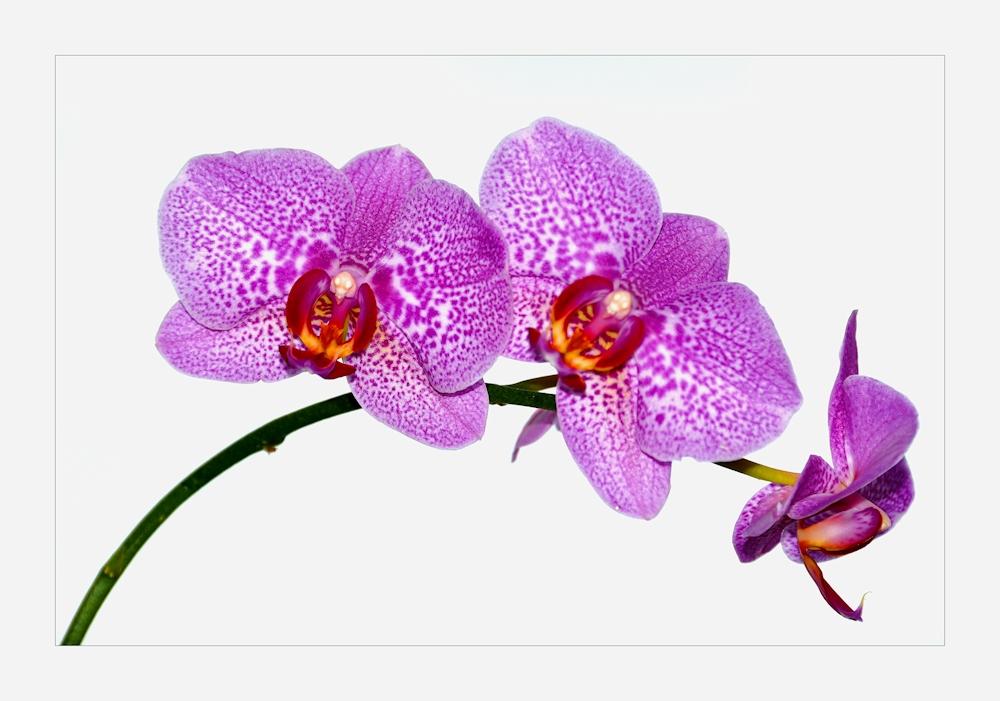 orchidee foto bild pflanzen pilze flechten bl ten kleinpflanzen orchideen. Black Bedroom Furniture Sets. Home Design Ideas