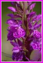 orchidée ?