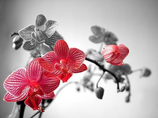 Orchidee bearbeitet