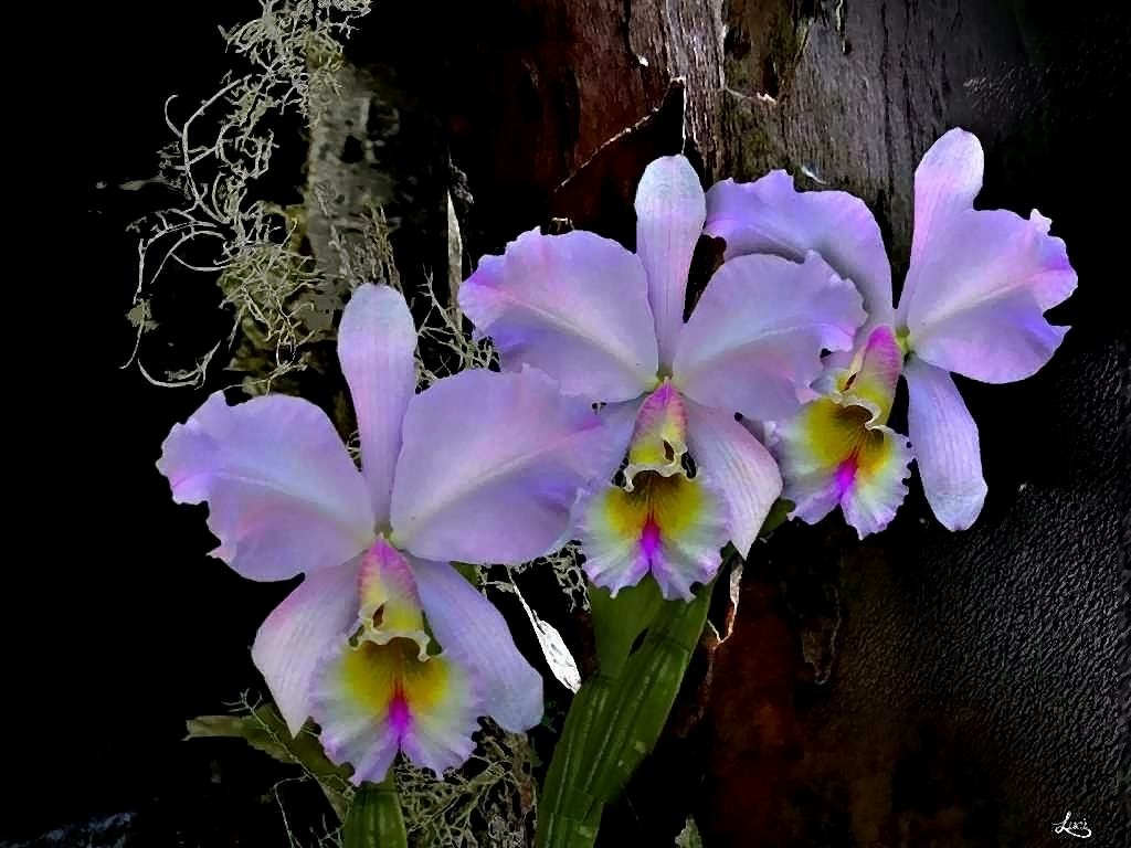 orchidee cattleya foto bild natur kreativ natur. Black Bedroom Furniture Sets. Home Design Ideas