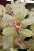 *Orchidee*