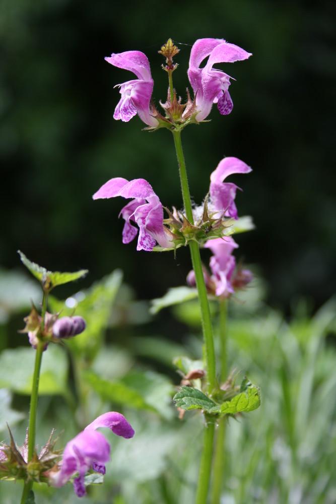 orchidée des jardins ?