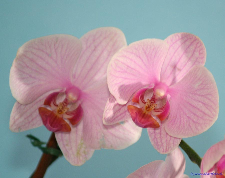 Orchidee ... die Dritte