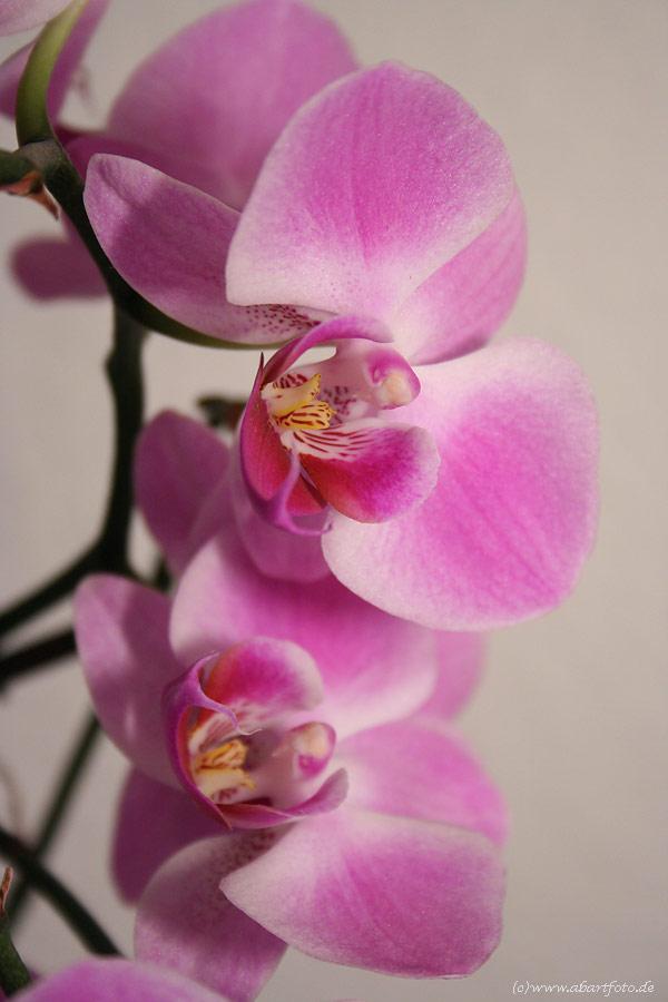 Orchidee ... die Vierte