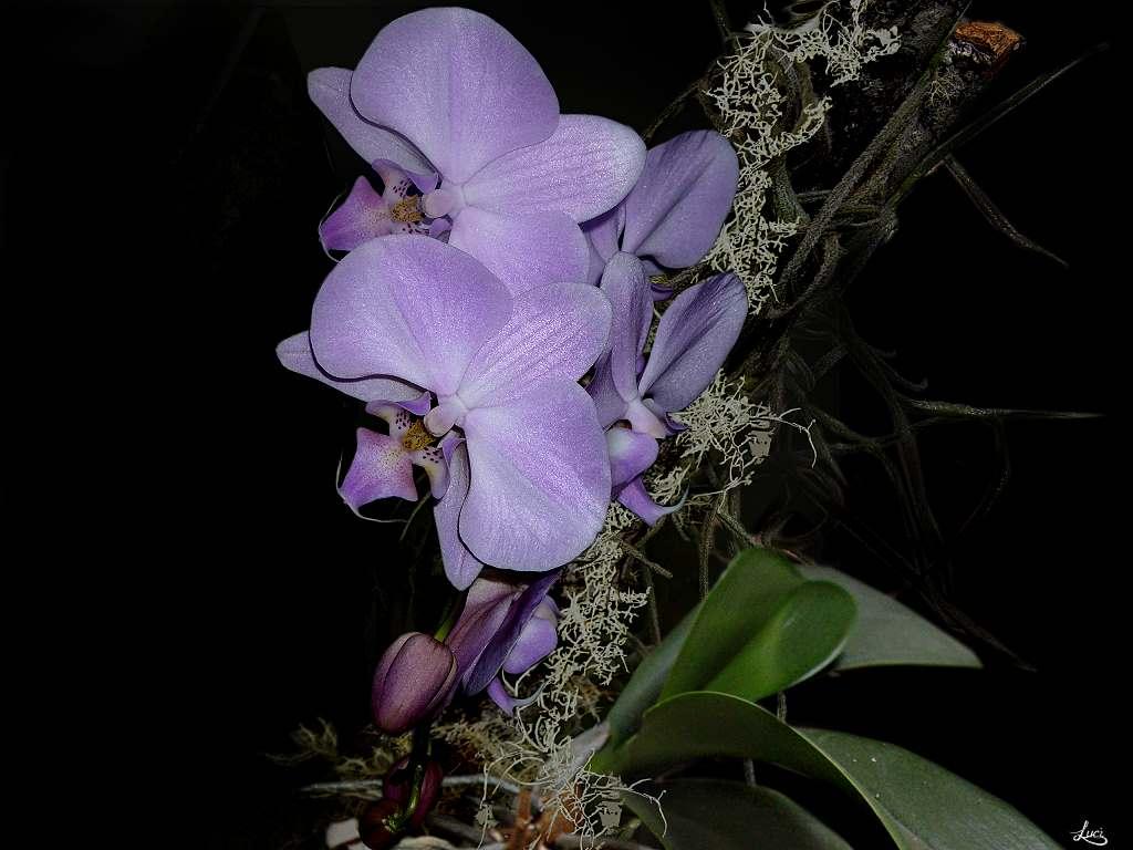 Orchidee die wieder einmal blüht.....