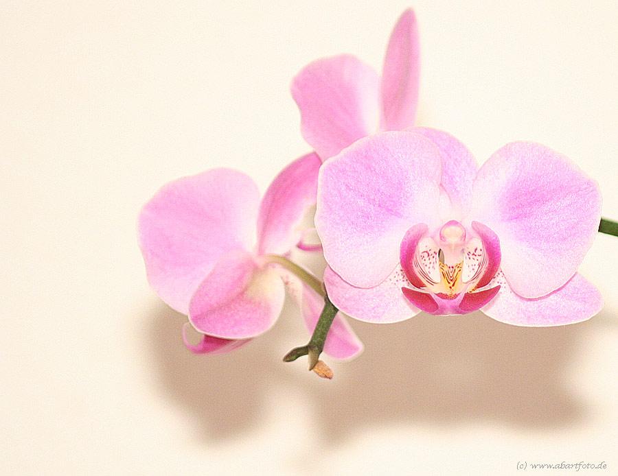 Orchidee ... die Zweite