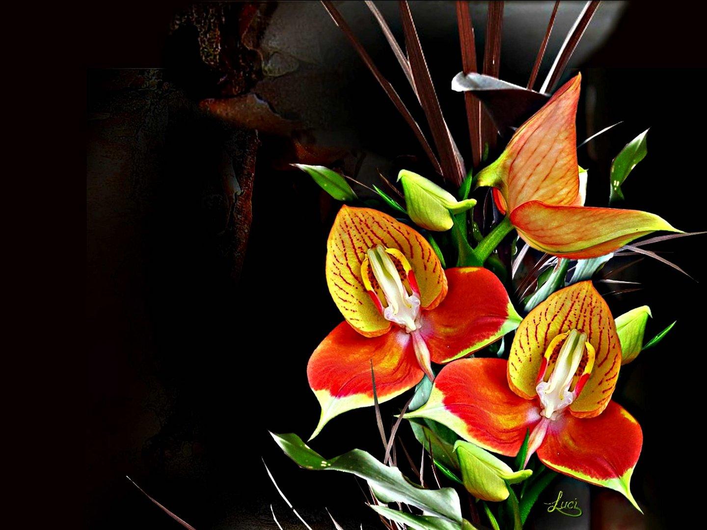 Orchidee Disa