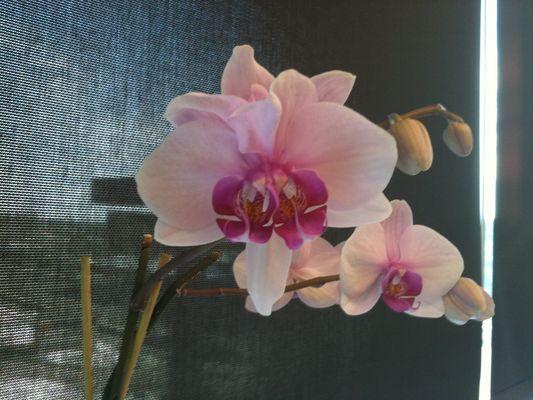 Orchidée double