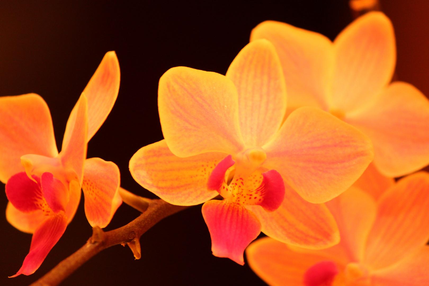 Orchidée du soir ....