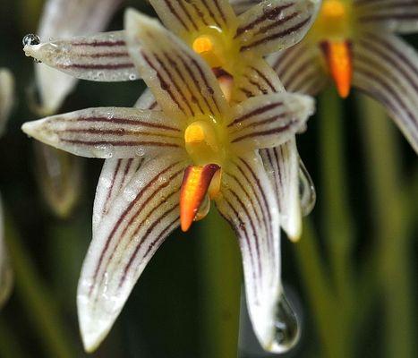Orchidee einer mir nicht bekannten Art