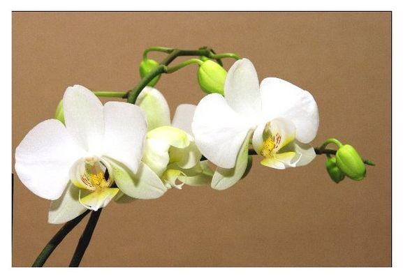 Orchidée en intérieur 1