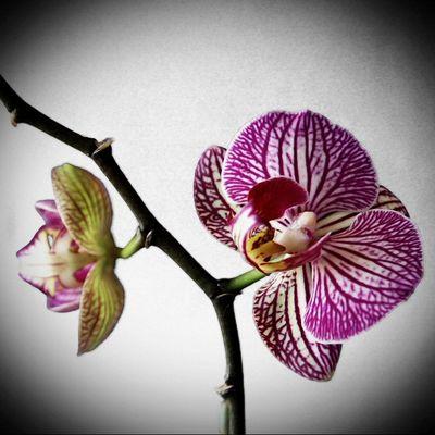 Orchidée en intérieur3
