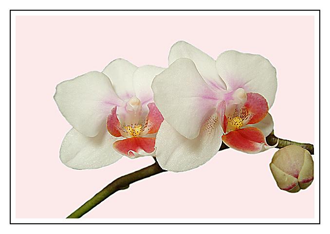 orchidee - endlich blüht sie wieder