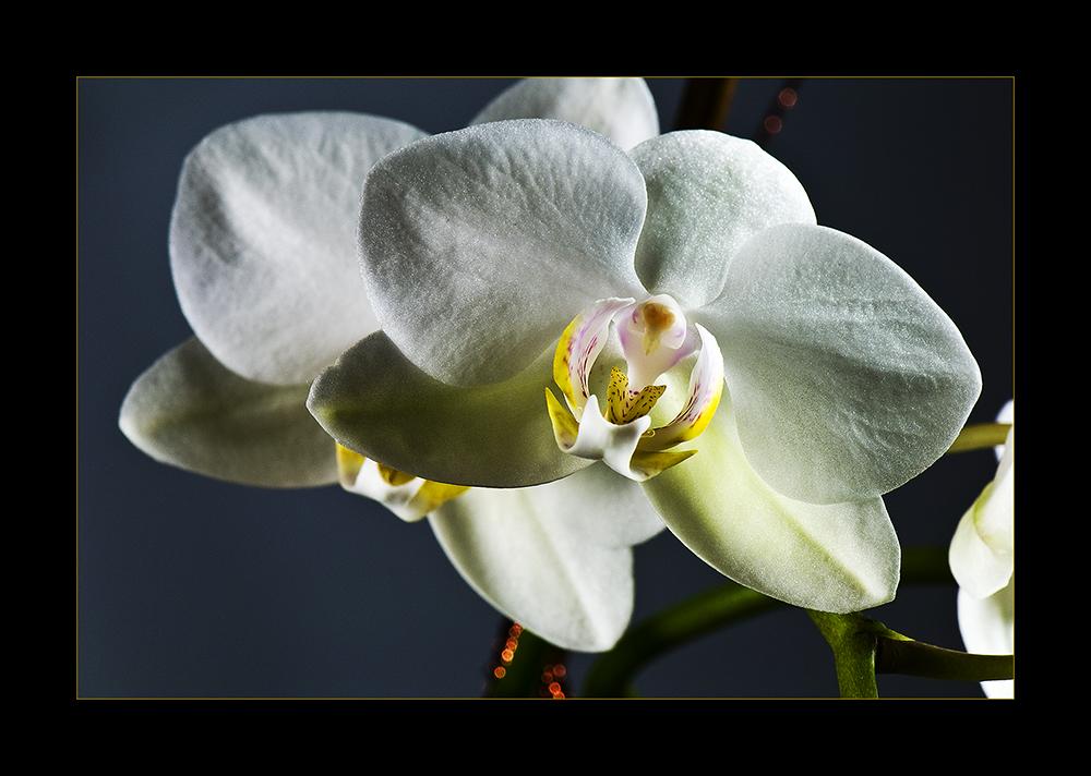 ~ Orchidee ~
