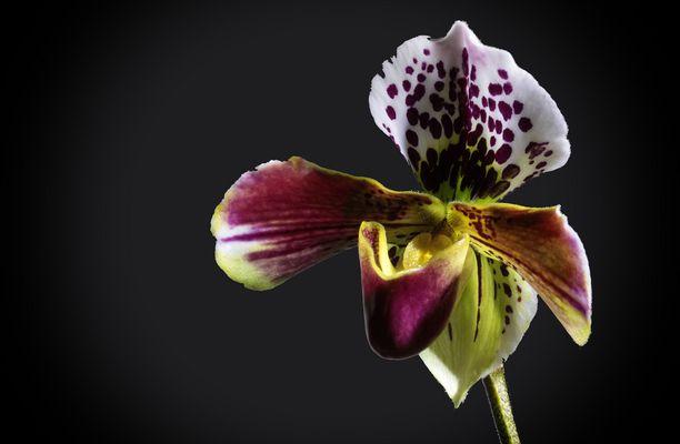 orchideen bilder fotos. Black Bedroom Furniture Sets. Home Design Ideas