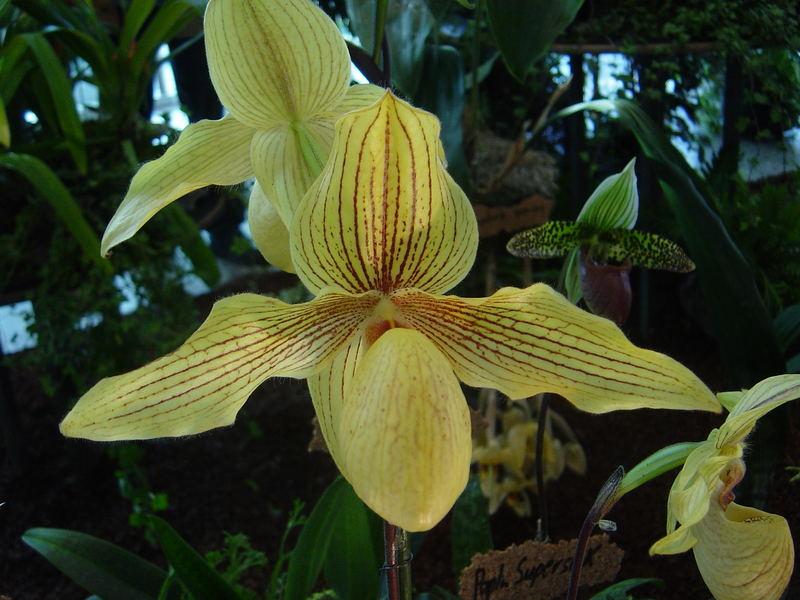 Orchidee Frauenschuh