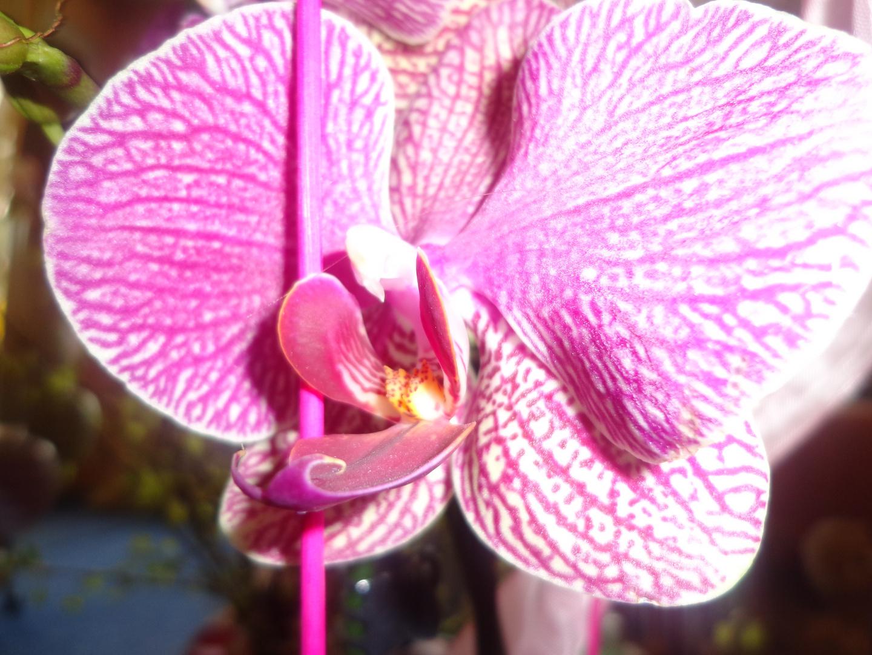 Orchidee Fuchsia gestromt