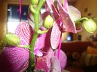 Orchidee Fuchsia gestromt mit Knospen und Triebe