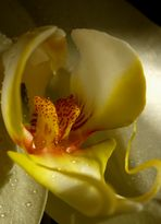 Orchidee ganz nah ...