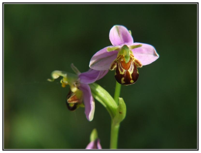 orchidée genre ophrys