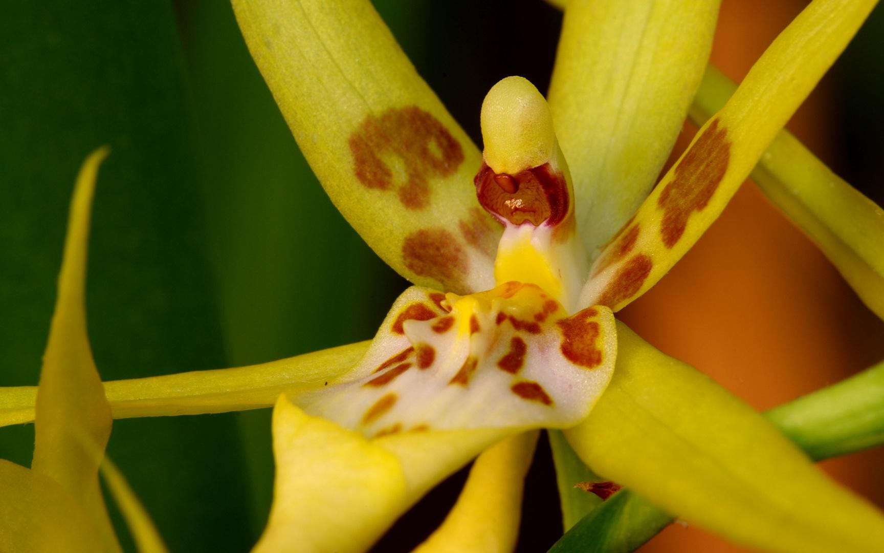 Orchidée hybride