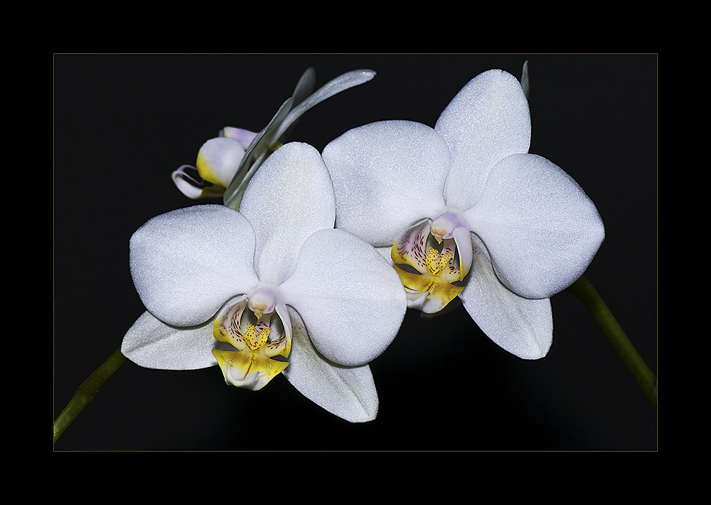 ~ Orchidee I ~
