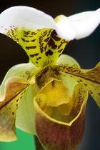 Orchidee III