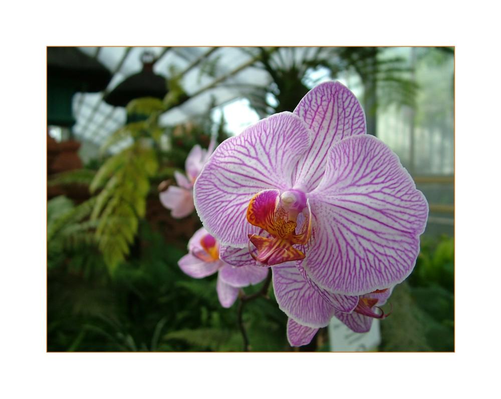 Orchidee im Balinesischen Garten