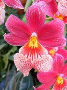 Orchidee im Berggarten Hannover