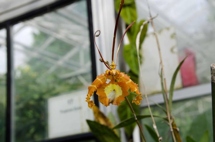 Orchidee im Botanischen Garten in Bristol