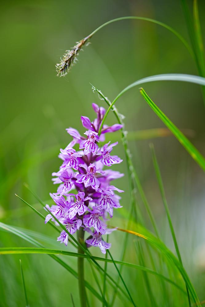 Orchidee im Hochgebirge 1