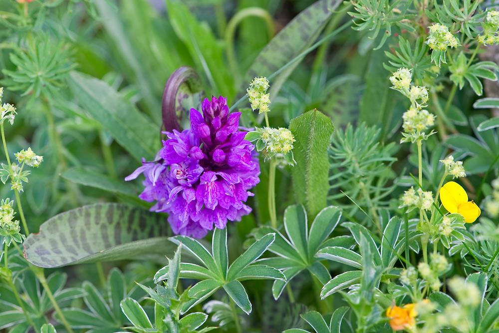 Orchidee im Hochgebirge