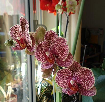 Orchidee im Leolook
