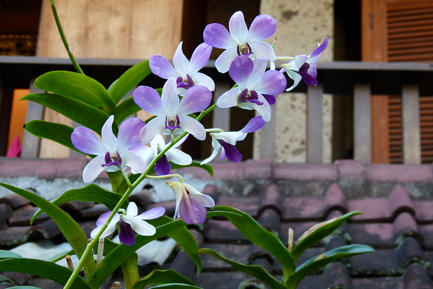 ...Orchidee im Lotuscafe ...