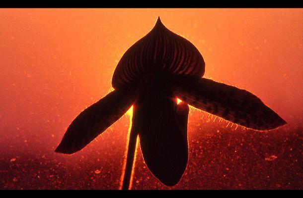 Orchidee im Sonnenuntergang