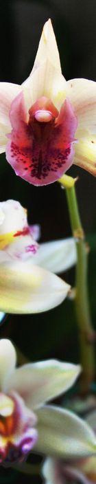 Orchidee im Stripe-Format