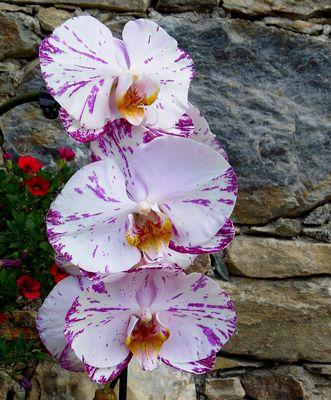 ORCHIDEE im Veltlin
