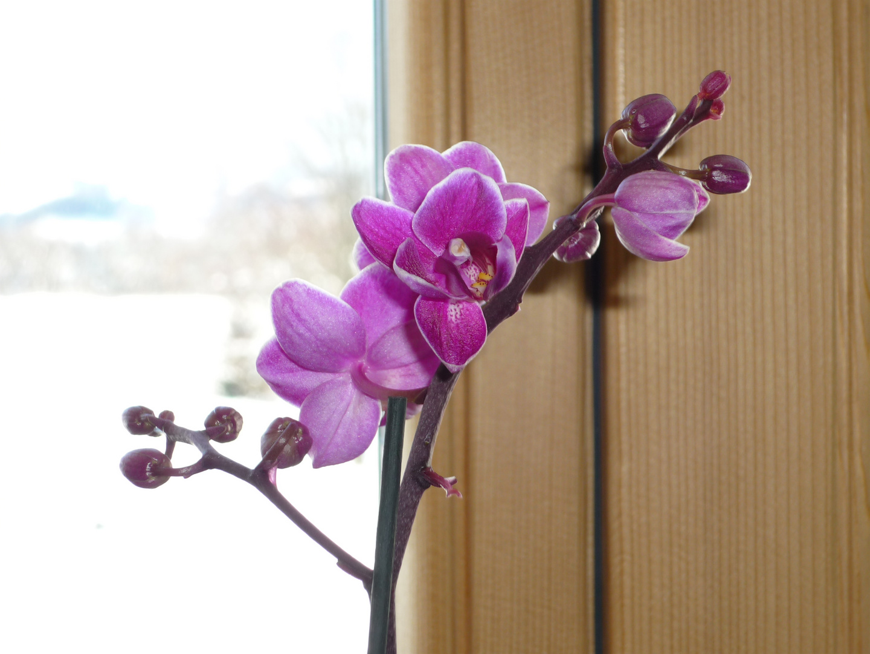 Orchidee im Winter (erster Versuch)