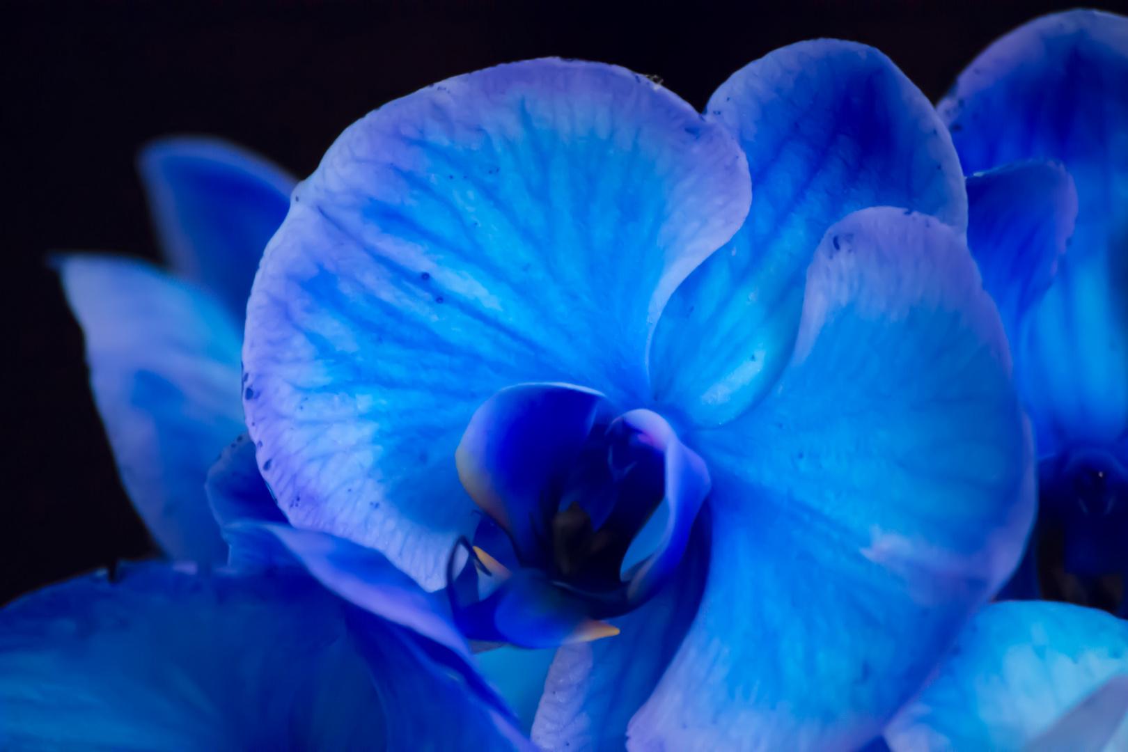 Orchidee in blau