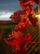 Orchidee in der Abendsonne