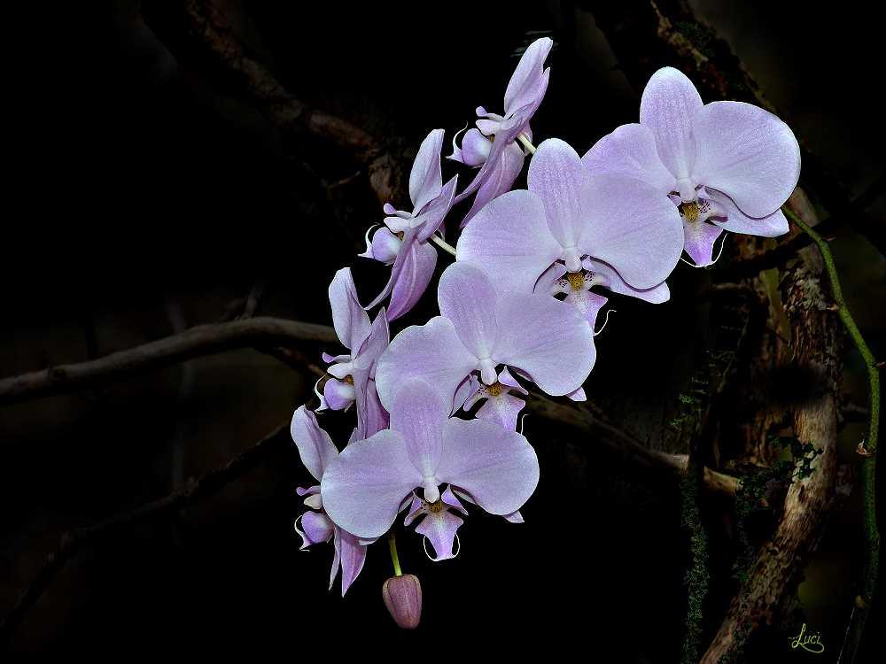 Orchidee in die Farbe von Nana Ellen.............Lila.........