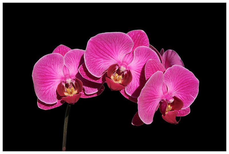 Orchidee in lila