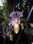 Orchidee in majestätischer Erscheinung