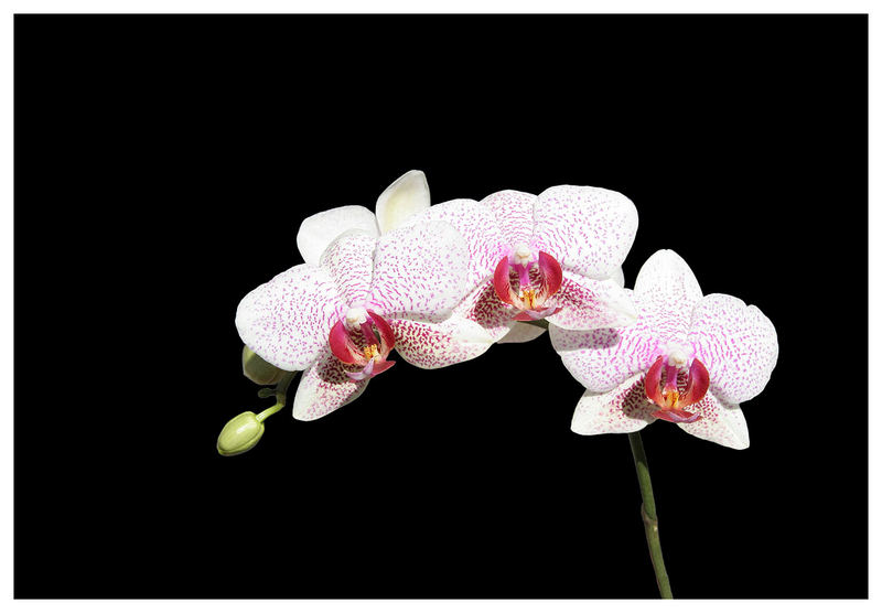 Orchidee in rot&weiss