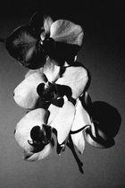 orchidee in schwarz und in weiß