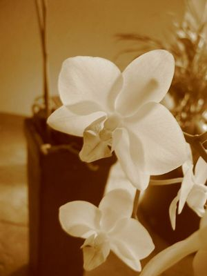 Orchidee in sepia