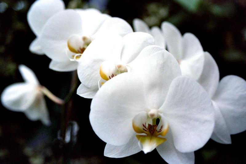 Orchidee in voller bracht