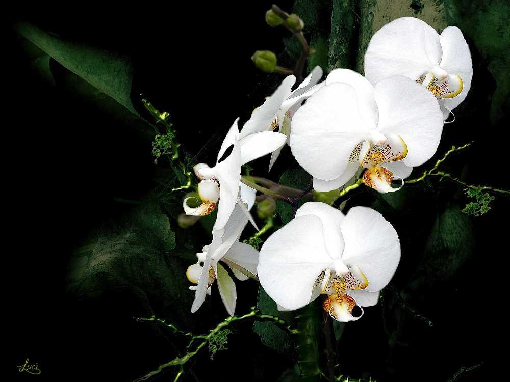 Orchidee in weiß... für ein schönes Wochenende.....